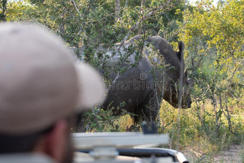 Out of focus in foreground, tracker driving safari vehicle. In background in focus, white rhino at Sabi Sands, South Africa stock image