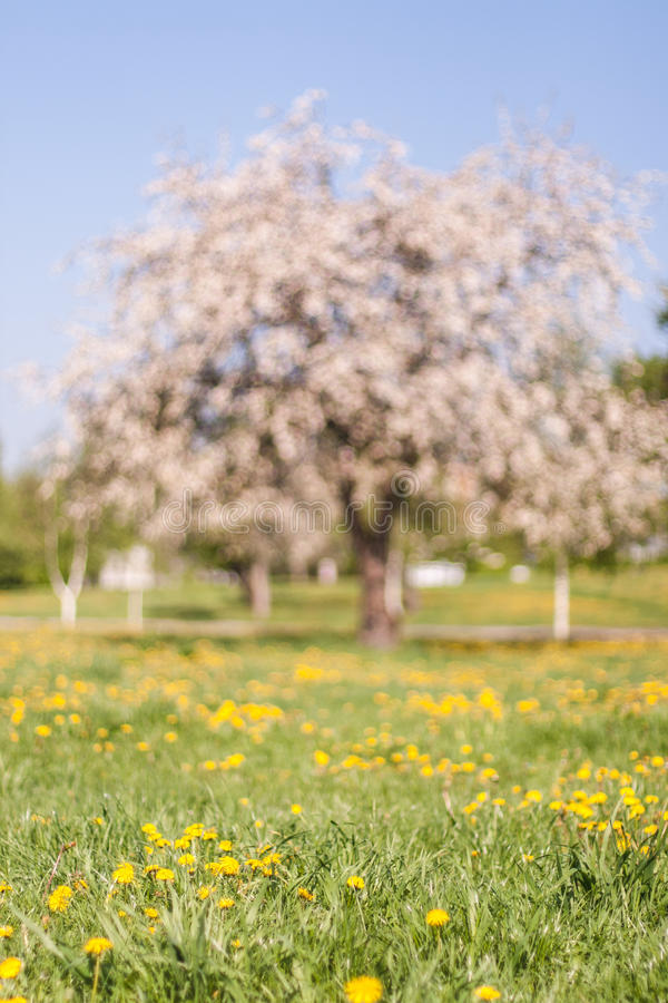 Out of focus spring apple blooming tree on green grass with dandelions. Apple tree blossoming in the spring with white flowers on dandelion meadow. Tree is out royalty free stock images