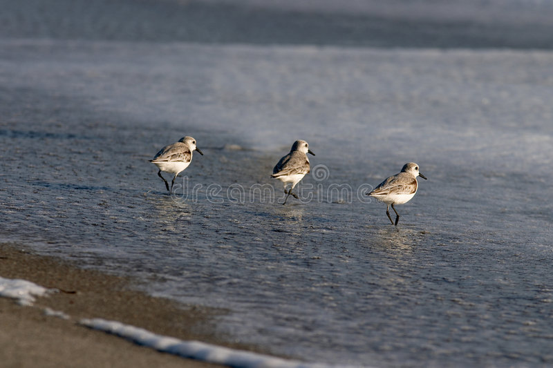 Out for food. A group of shorebirds looking for food along the beach stock image