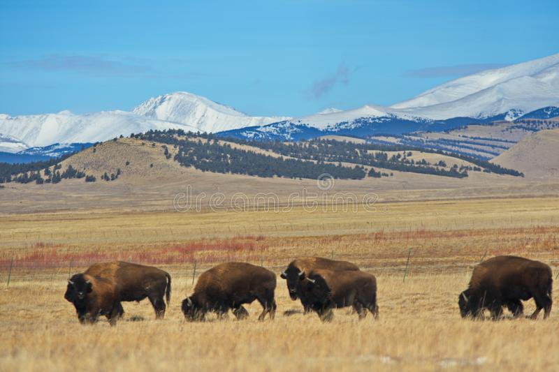 Buffalo grazing in front of the Rockies stock images