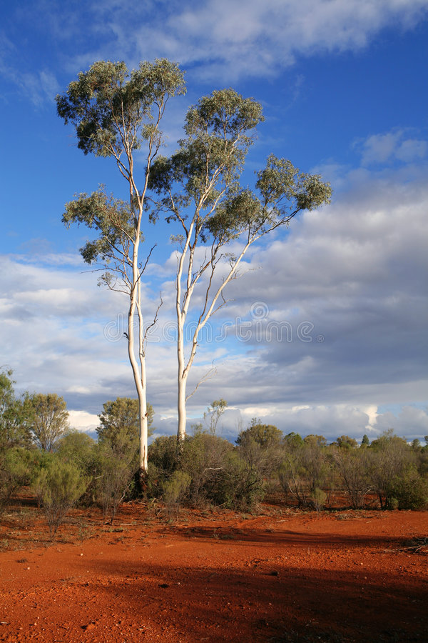 Outback Australia. The Ghost Eucalypt trees and red earth of Outback Australia royalty free stock photos