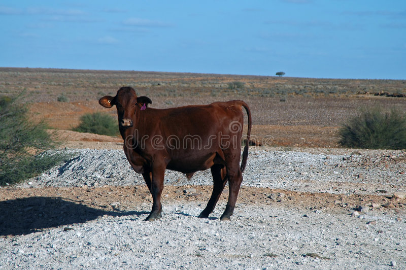 Download Outback Cow Stock Photography - Image: 190032