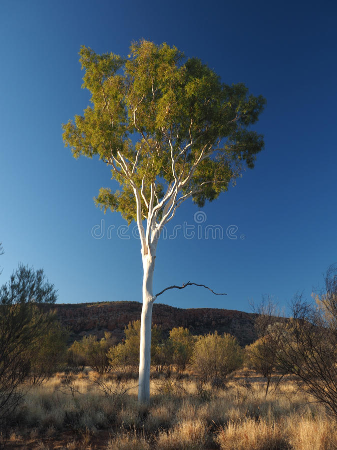 Outback Gum Tree at sunset. Gum Tree sunset, outback near Simpsons Gap in the McDonnell Ranges, Alice Springs, Australia, June 2015 royalty free stock image