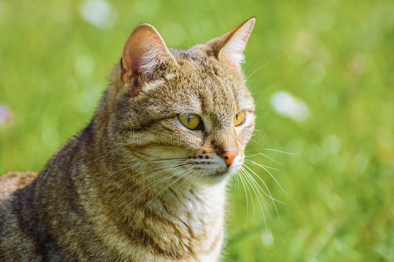 Outbred Cat. Portrait of an Outbred Cat Againsy the Green Background royalty free stock image