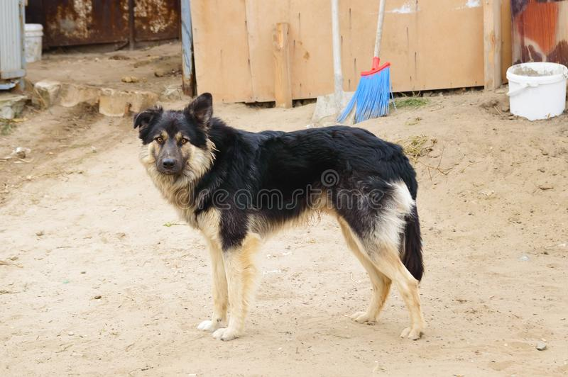 Outbred furry dog guards the house. Life in the village royalty free stock image