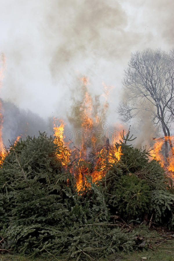Outdoor Burning fire on Fir Trees. Outdoor burning fire and open flame on Fir Trees royalty free stock photos