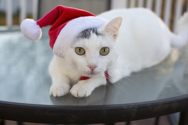 Outdoor christmas kitty cat portrait. Outdoor christmas cat portrait, White cat with red christmas hat on head, Cute holidays cat, Kitty cat with christmas hat royalty free stock images