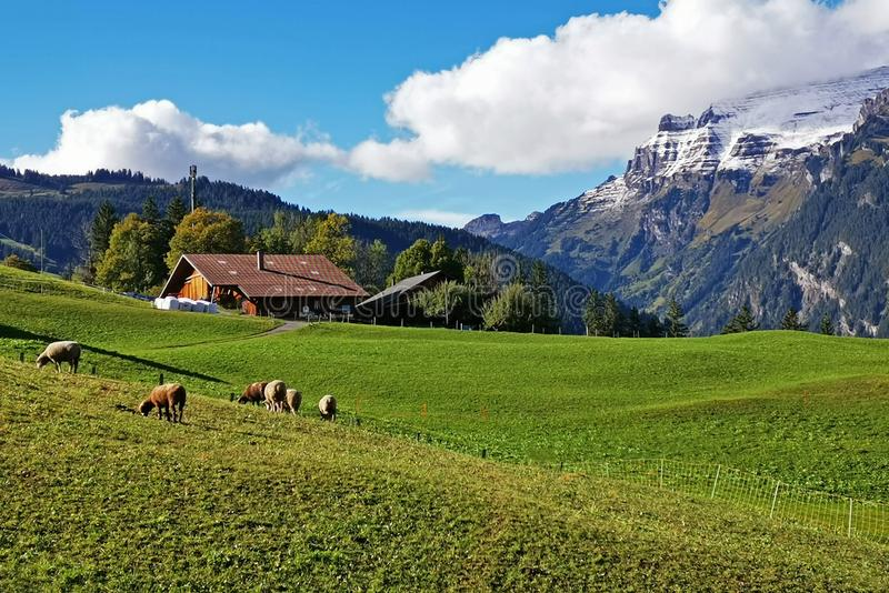 Outdoor countryside house, farm, snow mountain, cow in Switzerland village royalty free stock photography