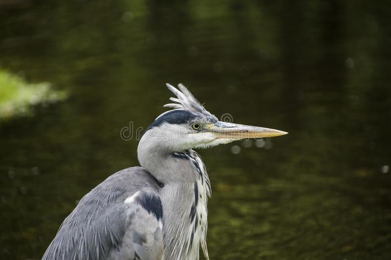 Outdoor detailed portrait of a single hunting heron royalty free stock image
