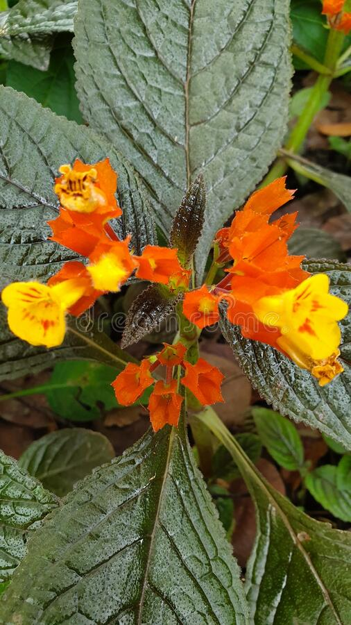 Outdoor Garden Flower with Orange and Yellow Flower Petals royalty free stock images