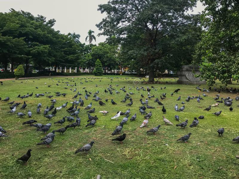 Group of pigeons in the park at Thailand stock photo