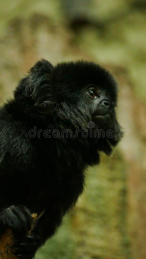 Outdoor monkey portrait stock photos