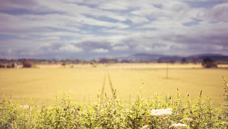 Outdoor overcast landscape view of fresh green and yellow growing wheat field with the trace of tractor or vehicle wheel mark, in royalty free stock images