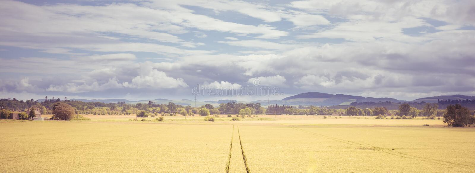 Outdoor overcast landscape view of fresh green and yellow growing wheat field with the trace of tractor or vehicle wheel mark, in royalty free stock photo
