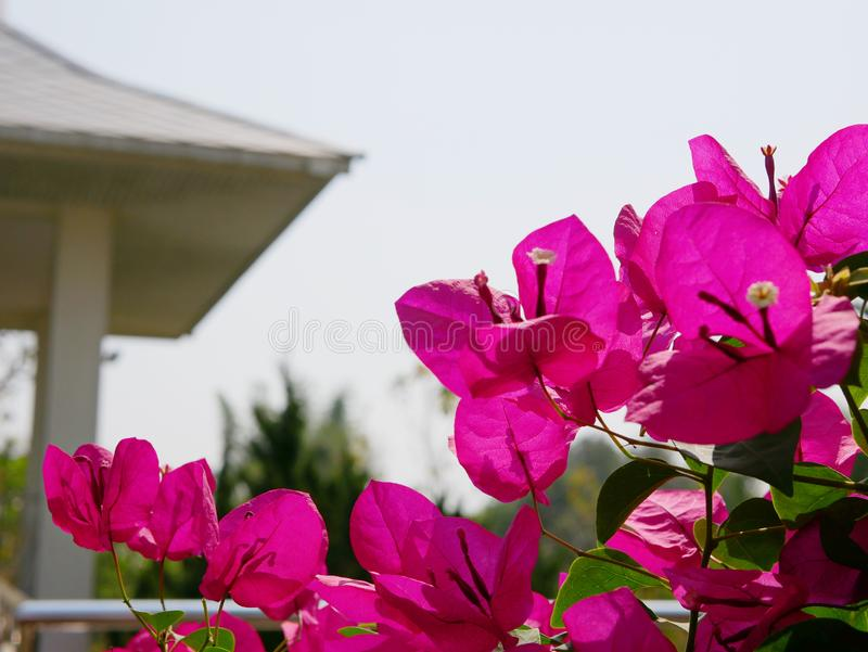 Outdoor pink Bougainvillea flowers planted outside to decorate a house. Selective focus of outdoor pink Bougainvillea flowers planted outside to decorate a house royalty free stock photography