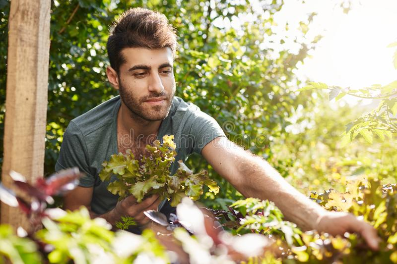 Outdoor portrait of attractive young bearded caucasian gardener in blue t-shirt working in garden, collecting salad royalty free stock photography
