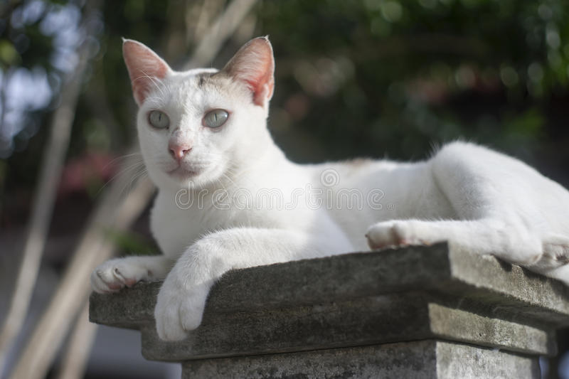 Outdoor portrait of a thai cat has sitting on pillar with blurred background, filtered image, selective focus.  royalty free stock photos