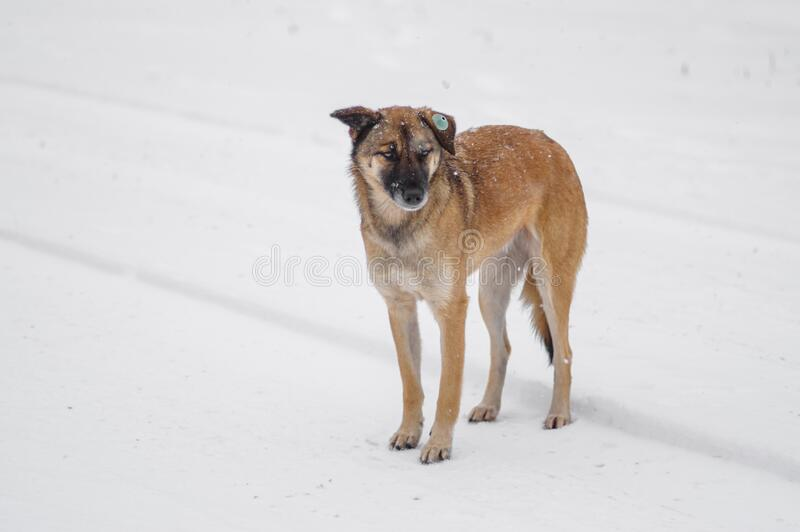 Yellow mixed-breed, stray dog standing lonely on a snow covered road and looking with hope. Outdoor portrait of yellow mixed-breed, stray dog standing lonely on stock photography
