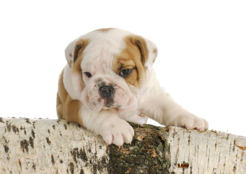 Outdoor Puppy Royalty Free Stock Photos