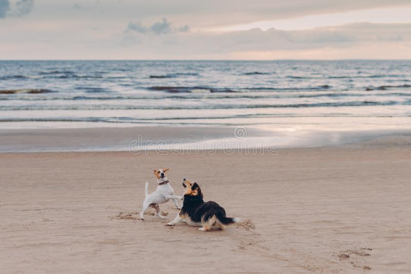 Outdoor shot of two dogs have struggle on sandy beach near sea during summer day. Horizontal view. Animals and nature concept stock images