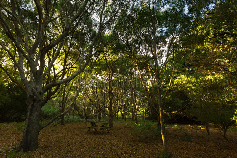 Outdoor table in middle of tall tree forest grove on top of The. Nut State Reserve Plateau tableland in Stanley during Autumn in Tasmania, Australia. The nut is royalty free stock photo