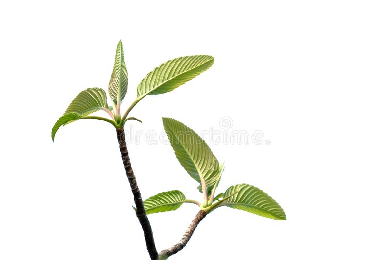 Tropical elephant apple tree leaves with branches on white isolated background for green foliage backdrop. Outdoor tropical tree leaves branches white isolated royalty free stock photos