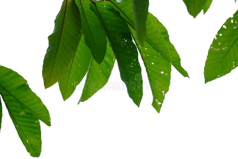 Tropical tree leaves with branches on white isolated background for green foliage backdrop. Outdoor tropical tree leaves branches white isolated background green stock photo