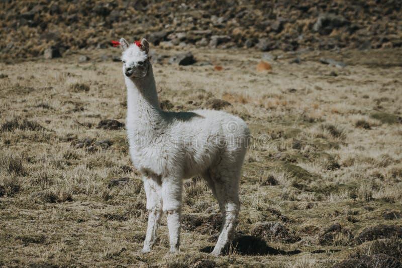 Outdoors белого ламы без сокращений стоковая фотография