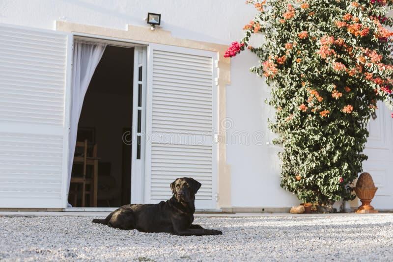Outdoors портрета красивого черного labrador сидя на заходе солнца во время золотого часа Любимцы outdoors стоковые фото