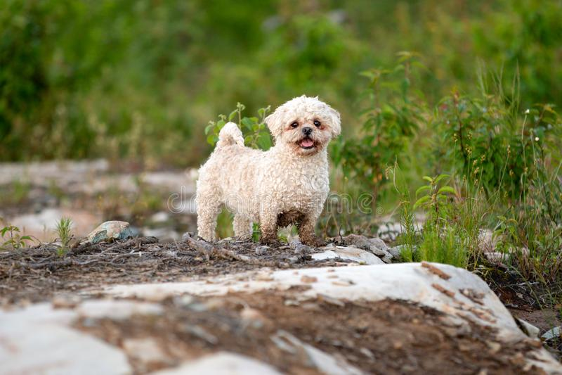 Outdoors портрета собаки смешивания Bichon Shih Tzu летом стоковые изображения