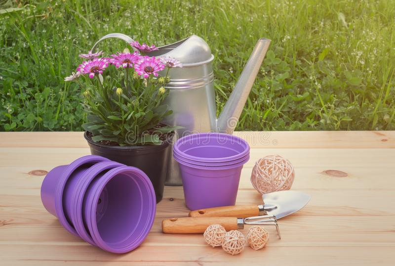 Outdoors purple plastic flower pots, seedling of osteospermum african daisy flowers, watering can and gardening tools. On wooden surface royalty free stock images