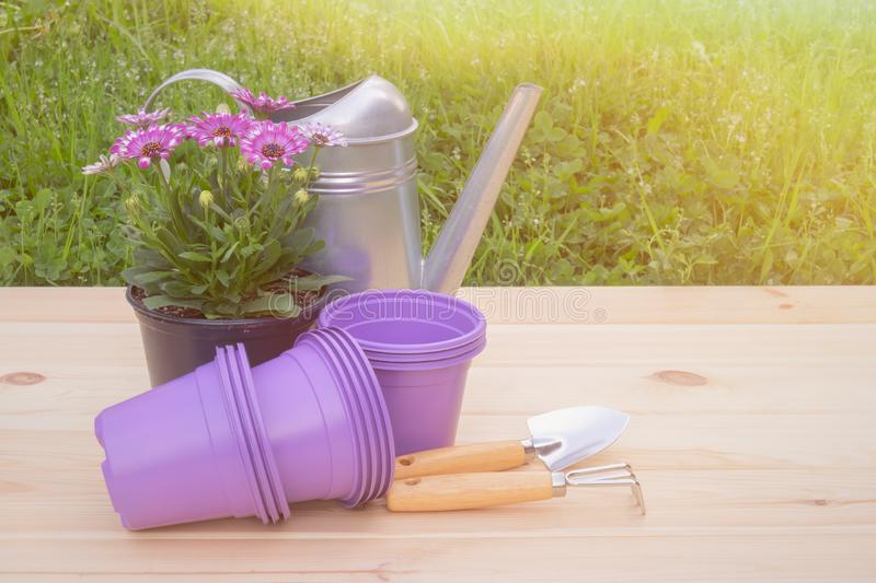 Outdoors purple plastic flower pots, seedlings of osteospermum african daisy, watering can and gardening tools. View with copy space royalty free stock photography