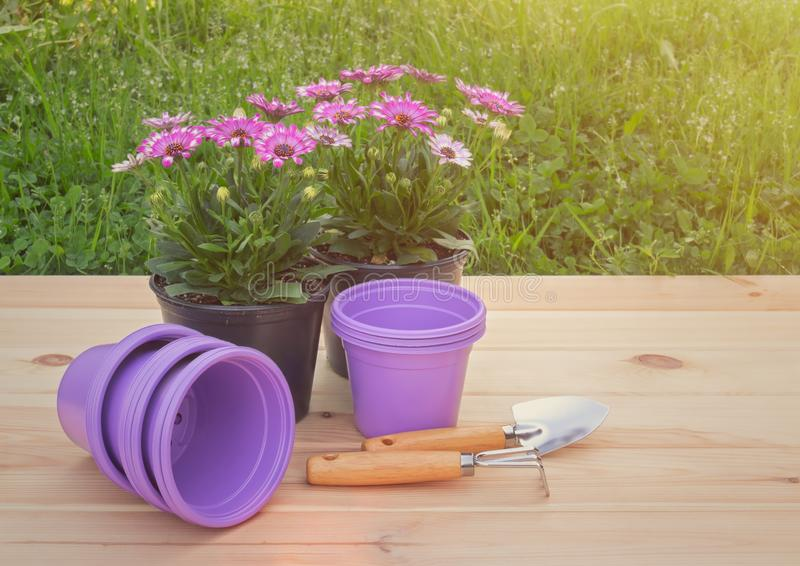 Outdoors seedlings of osteospermum african daisy, purple plastic flower pots and gardening tools. View with copy space royalty free stock images