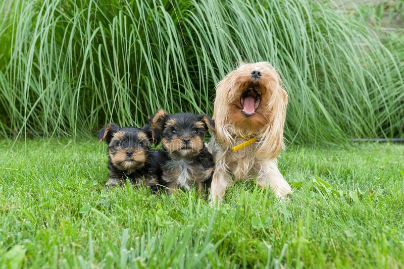 Outdor portrait of mummy and two small puppies of Yorkshire terrier. Dogs are sitting on green lawn, looking at the camera. stock photos