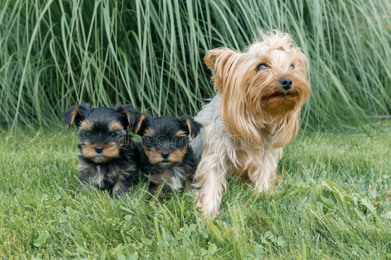 Outdor portrait of mummy and two small puppies of Yorkshire terrier. Dogs are sitting on green lawn, looking at the camera royalty free stock images