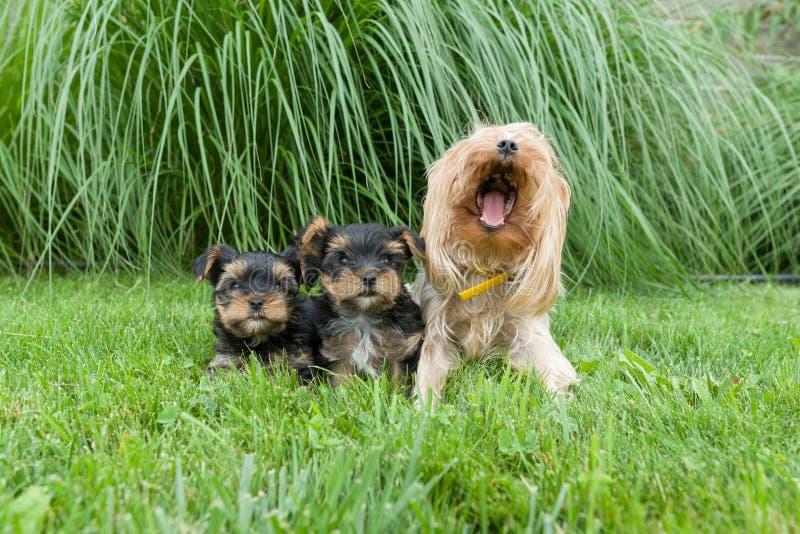Outdorportret van brij en twee kleine puppy van de terriër van Yorkshire De honden zitten op groen gazon, bekijkend de camera stock foto's