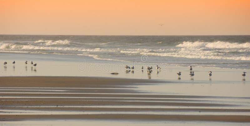 outerbanks du nord de la Caroline d'oiseaux de plage image libre de droits