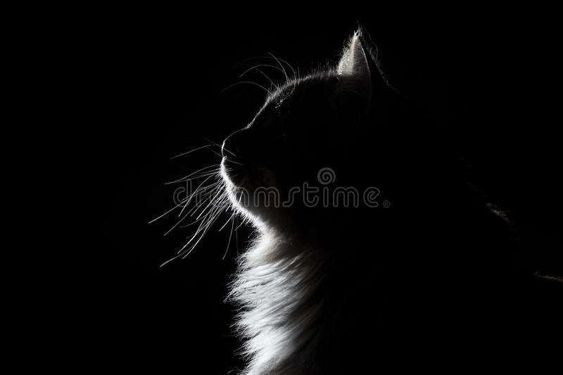 Outline silhouette portrait of beautiful fluffy cat on a black background royalty free stock photography