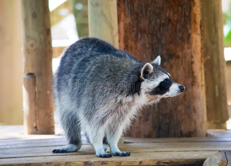 Outlook racoon stock images