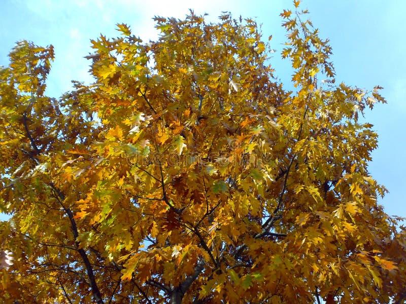 outono amarelo três fotografia de stock royalty free