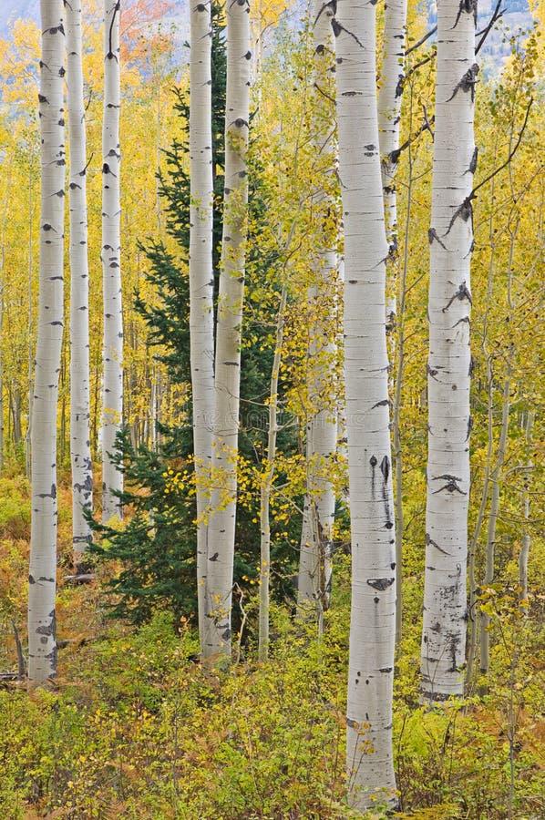Outono Aspen imagens de stock royalty free