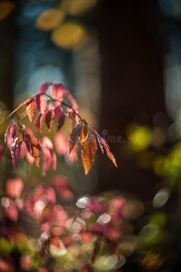 outono Bush macio cor-de-rosa de um beresklet em um dia ensolarado Foco seletivo Arte wallpaper Foco seletivo imagens de stock