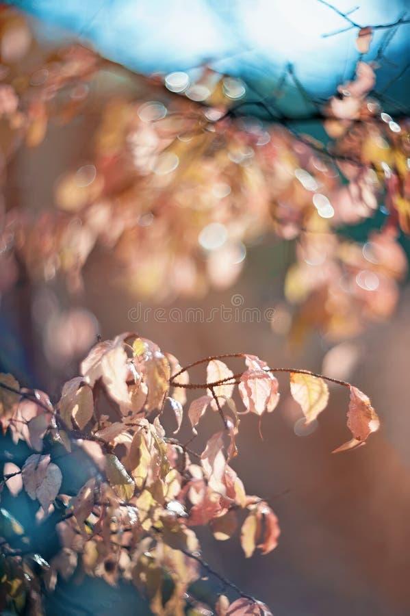 outono Bush macio cor-de-rosa de um beresklet em um dia ensolarado Foco seletivo Arte wallpaper Foco seletivo fotos de stock royalty free
