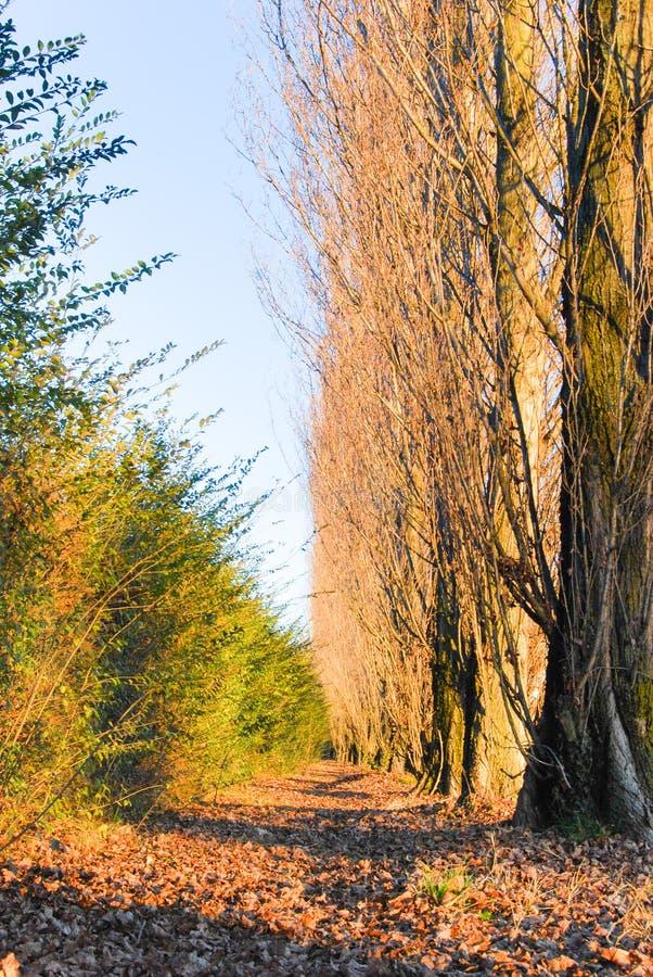 outono colorido com álamos e folhas na terra imagem de stock