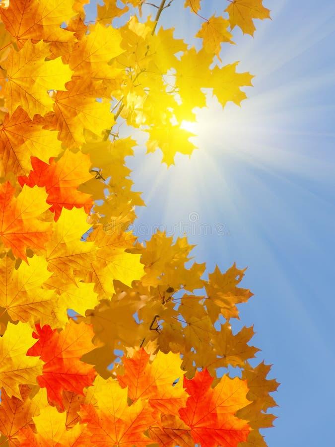 Outono do bordo da árvore foto de stock