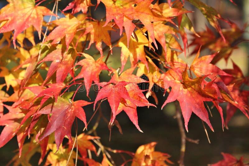 outono do bordo japonês imagem de stock royalty free