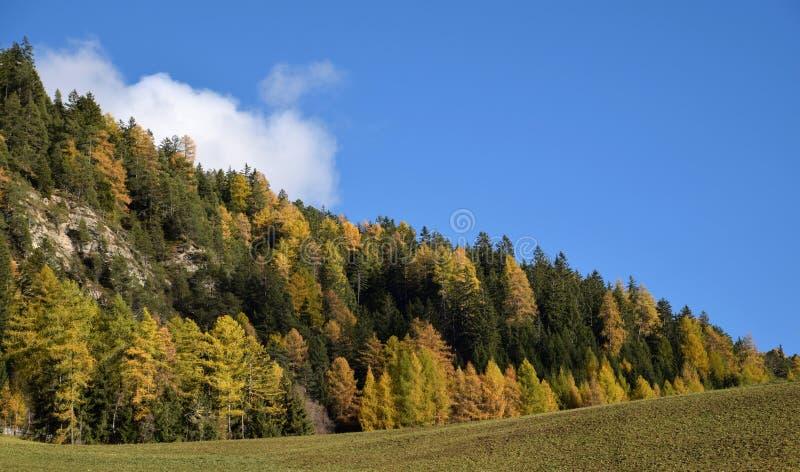 outono em Tirol, colorfuly pinhos nos cumes, perto de Dolomiten, Itália foto de stock