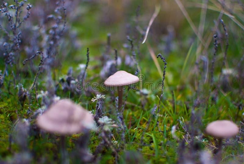 outono morno do cogumelo venenoso pequeno dos cogumelos imagem de stock
