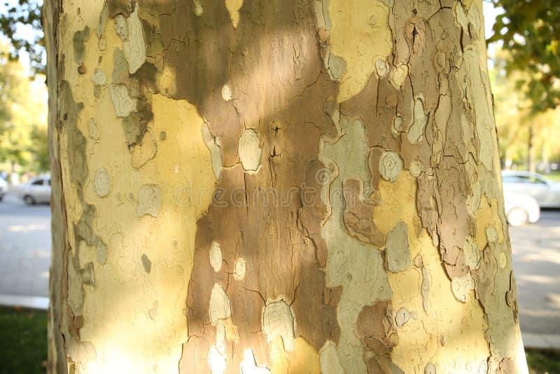 outono na textura da cidade da casca da árvore imagem de stock royalty free