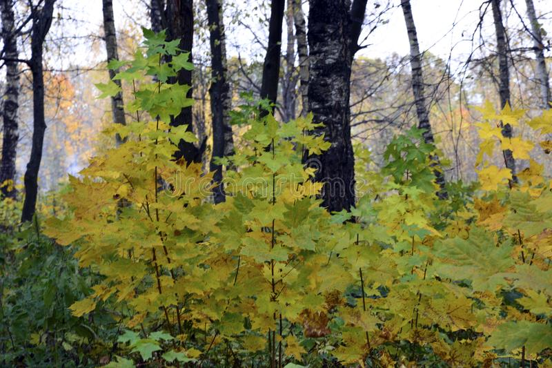 outono, natureza, céu nebuloso da floresta do outono Folhas de outono douradas fotografia de stock royalty free